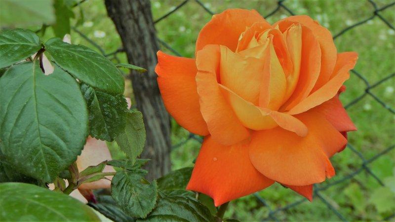 Ohri-Blume