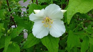 "Philadelphus ""Belle Etoille"""