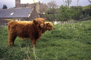 schottischeshochlandrindbeidunvegancastle